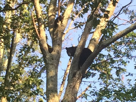 bears, Sklyine Drive, Virginia