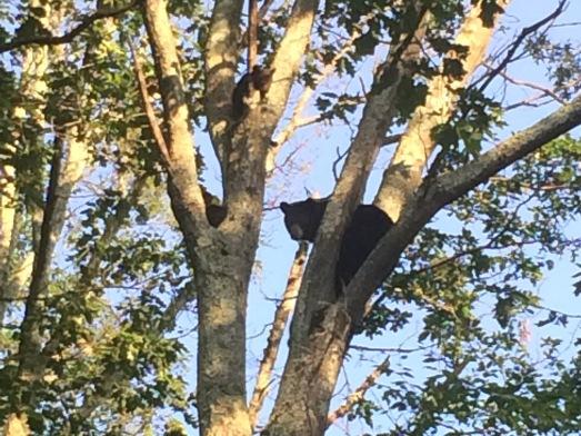 bears, Sklyine Drive, Virginia