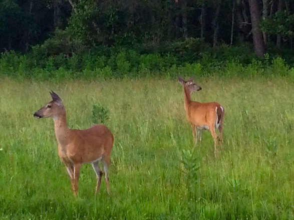 deer, Big Meadows Campground, Skyline Drive, Virginia